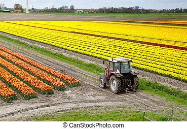 champ, tracteur, tulipe