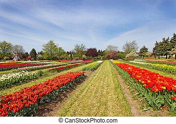 champ tulipe