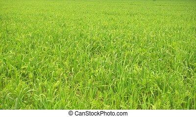 champ vert, agricole, herbe, wind.