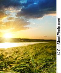 champ vert, sur, coucher soleil, orge