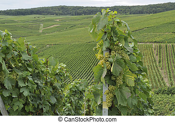 champagne grapes #2, epernay