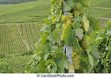 champagne grapes #3, epernay