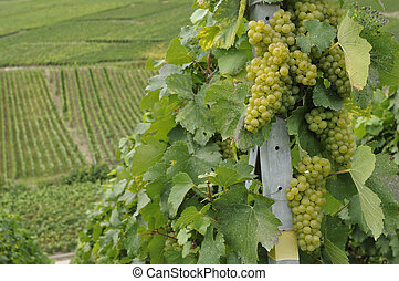 champagne grapes #4, epernay