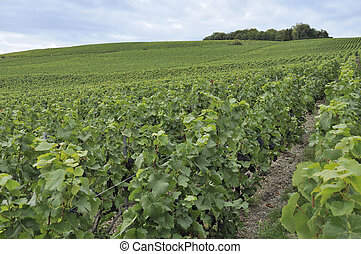 champagne hilly vineyard #2, epernay