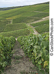 champagne hilly vineyard #3, epernay