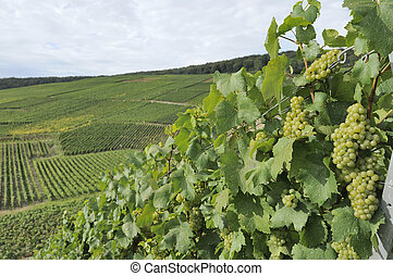 champagne hilly vineyard #5, epernay