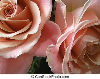 champagne petals - artistic close up shot of the petals of...