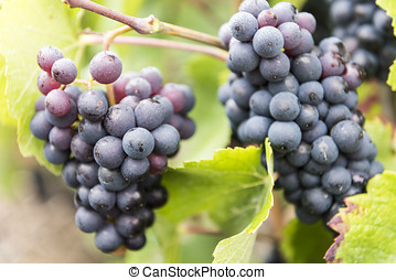 Champagne Pinot Noir Grapes France - Several Pinot Noir...