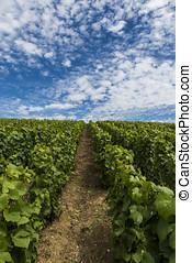 Champagne Vineyard Clouds Summer