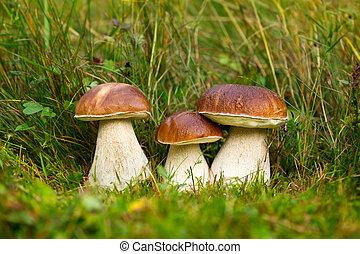 champignon comestible, boletus, edulis