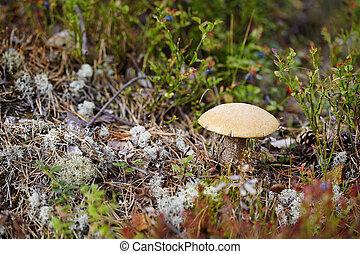 champignon, entre, mousse, et, lichen