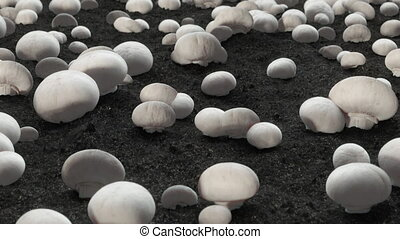 Champignon farm footage with dark ground and Mushrooms - Slide 3D animation footage for factory with copy space in 4K in slow motion.