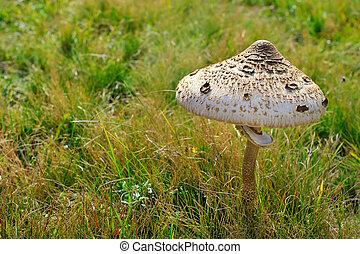 champignon parasol