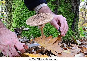champignon parasol, photo, sesion, dans, chêne, forêt