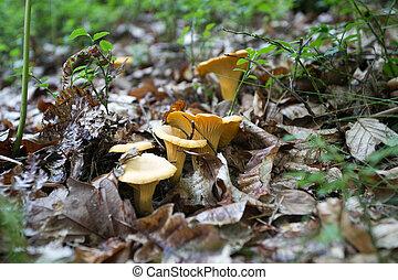 champignons, été, frais, jeune, forêt