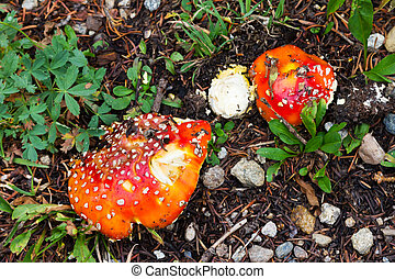 champignons, taches rouges