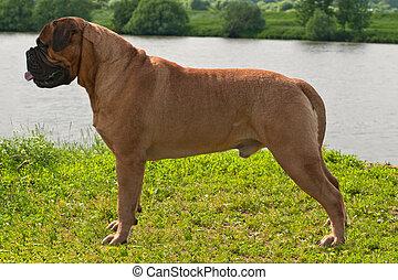 Champion Bullmastiff in Ideal Standing - Champion ...