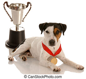 champion dog - jack russel terrier wearing gold medal sitting with trophy