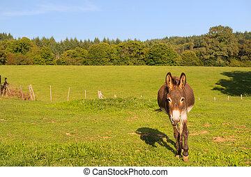 champs, âne