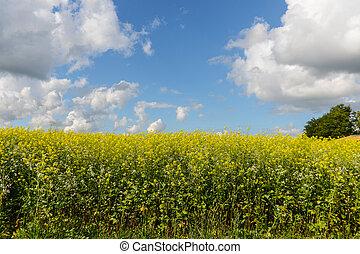 Champs de Colza - Agriculture