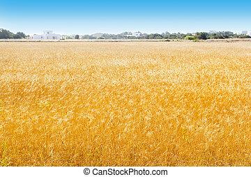 champs, formentera, blé, îles baléares
