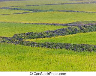 champs, maharashtra, bhimashankar, india., crop., riz