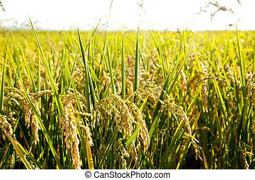 champs, pointes, céréale, mûre, riz