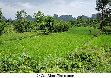 champs, riz, chinois