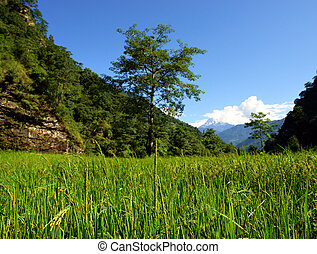 champs, riz, paysage vert