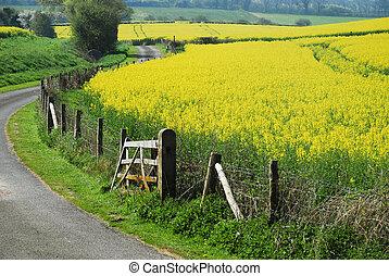 champs, ro, jaune, colza