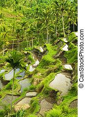 champs, terrasse riz