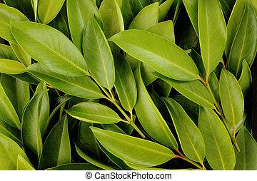Chamuang leaves (Garcinia Cowa Roxb.) background