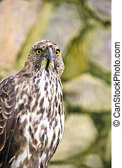 Changeable hawk eagle - Close up of a Crested/Changeable ...