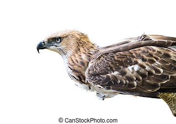 Changeable Hawk Eagle isolated on white - Changeable Hawk ...