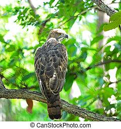Changeable Hawk Eagle (Nisaetus limnaeetus), back profile, ...