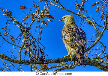 Changeable hawk-eagle or crested hawk-eagle (Nisaetus ...