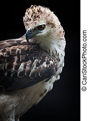 Changeable Hawk Eagle - Sharp eye of the hawk or falcon or ...