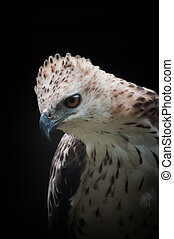 Changeable Hawk Eagle - Sharp eye of the hawk or falcon or ...