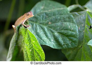 Changeable lizard on leaf