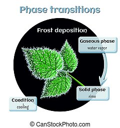 Frost deposition - soft rime on raspberry leaves. Phase transition from gaseous to solid state.