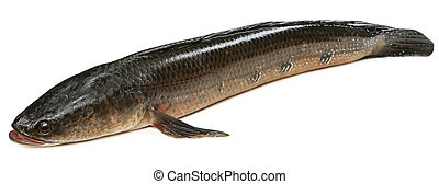 Giant Snakehead known as gozar fish in Bangladesh
