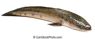 Channa marulius or Giant Snakehead