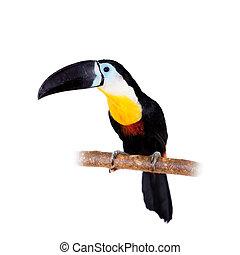 channel-billed, hvid, toucan, isoleret
