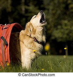 chant, chien