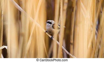 chante, peu, thickets, oiseau, séance