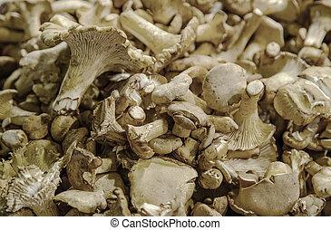 Chanterelle (Cantharellus cibarius)
