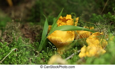 Chanterelle Mushroom - Chanterelle mushroom in the grass....