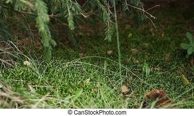 Chanterelle Mushrooms - Chanterelle mushroom in the grass....