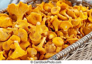Chanterelle mushrooms in a wicker basket.