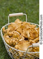 Chanterelles in a basket in a meadow